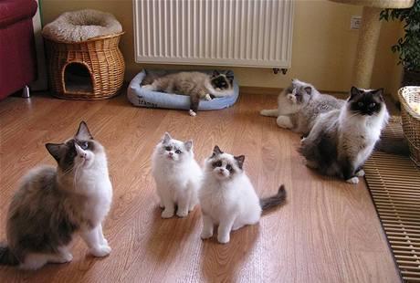 Dospělí ragdollové s koťaty