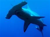 Kladivoun patří k nejohroženějším druhům žraloků