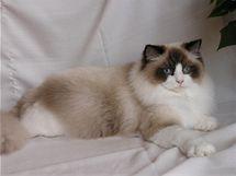 Ragdoll kočka milující lidi která se v náručí uvolní jako