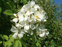 Jeden z Klářiných zahradních vtípků: do koruny staré hrušně nechala prorůst růži s jednoduchými bílými květy. Přes léto to pak vypadá, jako by se hrušeň zbláznila a kvetla přes léto