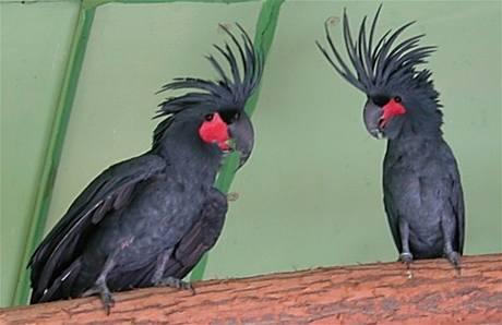 Vzácní papoušci nalezení při domovních prohlídkách. (kakadu palmový)