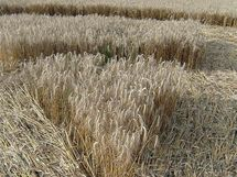 Kruh v obilí na poli u silnice u Skalice nad Svitavou