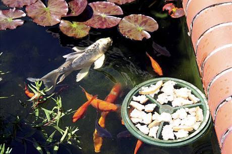 Plovoucí krmítko zaručí, že se rybí potrava nerozšíří po celé hladině jezírka