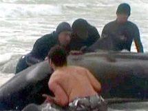 Dobrovolníci se snaží odtháhnout velrybu zpátky do moře (20. srpna 2010)