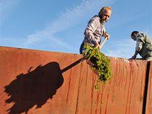 Maďarské hrozny pro výrobu zkvašeného vinného moštu (burčáku) v Bořeticích
