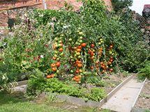 Není nad rajčata z vlastní zahrádky