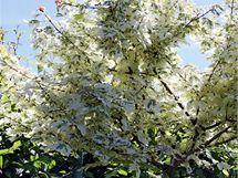 Stromy a keře s panašovanými listy vypadají, jako by kvetly po celý rok