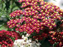 Řebříčky jsou v českých zahradách poněkud opomíjené, přitom mohou kvést nejen bíle, ale i růžově, karmínově, oranžově nebo žlutě