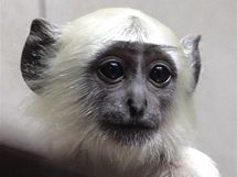 Hulman posvátný z ostravské zoo.
