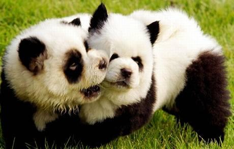 "Malé psí ""pandičky"""