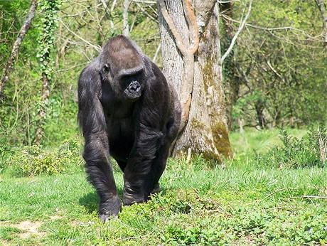 """Gája v """"opičí zoo"""" La Vallée des Singes u městečka Romagne v jihozápadní Francii (2005)"""