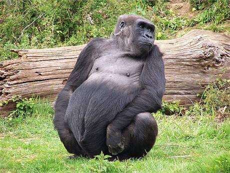 """Gája v """"opičí zoo"""" La Vallée des Singes u městečka Romagne v jihozápadní Francii"""