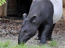 Pražské zoo se podařilo získat pár tapírů čabrakových