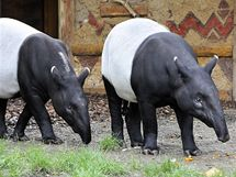 Zoo Praha se podařilo získat pár vzácných tapírů čabrakových