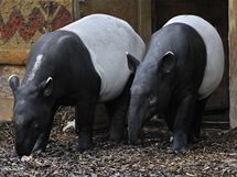 Pár vzácných tapírů čabrakových v pražské zoo