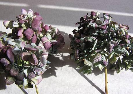 Vlevo správně vyzrálý a správně usušený květ, vpravo předčasně utržené nevyzrálé květenství, jehož okvětní plátky se při sušení zkroutily