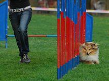 Pes Quincy Gold Moravia Classic čtrnáctileté školačky Venduly Svobodové z Havlíčkova Brodu