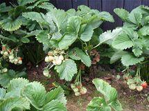 Na podepřených keřících jahod plody lépe dozrávají, neválí se na zemi a nehnijí