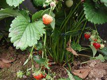Jednoduchá podpěra z plotového drátu zajistí, aby se dozrávající jahody neválely po zemi a mohlo na ně sluníčko