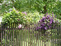 Plamének kvetoucí na vrbových obloucích (pohled z ulice)