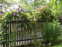 Plamének kvetoucí na vrbových obloucích (pohled ze zahrady)