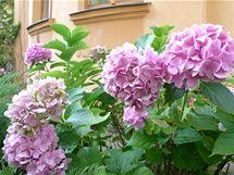 Uchovat krásu květů hortenzií (na snímku hortenzie velkokvětá, Hydrangea macrophylla) není takový problém