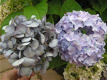 Pokud květenství usušíte šetrně, ponechá si svou původní barvu v poměrně syté formě. Sušený květ vlevo, vpravo živý květ na keři