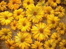 Janebu sušte na drátěném pletivu na temném místě, kde proudí vzduch, například na půdě. Takto květy vypadají v suchém stavu