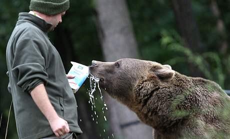 Krmení  medvědů pamlsky v plzeňské zoo a symbolicky je tak ukládají k zimnímu spánku