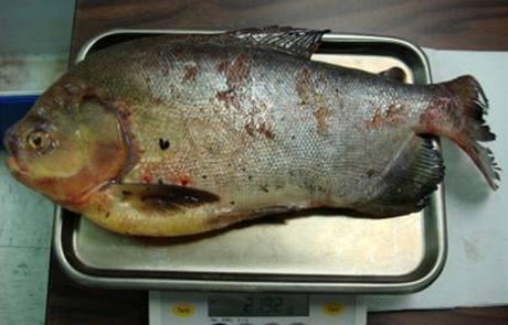 Ryba měřila 50 cm a vážila asi 2,5 kg