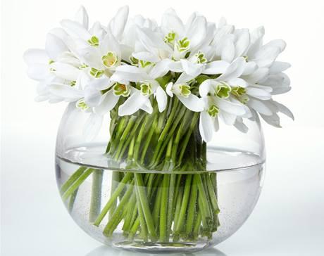 Kytička sněženek vám může udělat radost nejen na jaře. Ty rychlené i kdykoliv v zimě