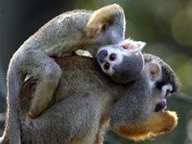 Mláďata kotulů veverovitých ve zlínské zoologické zahradě