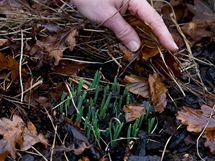 Květináč s cibulkami sněženek či bledulí vyjmete v listopadu ze země