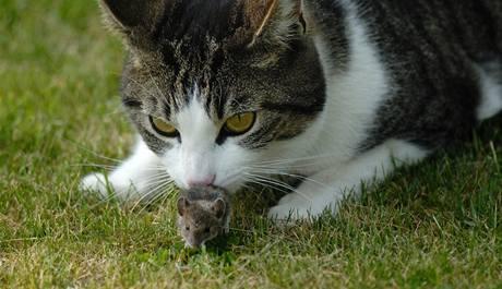 Myš znamená pro kočku spíše povyražení než zdroj obživy