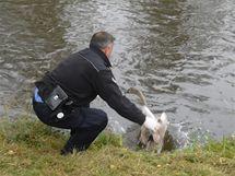 Strážníci zachraňovali labuť a koně
