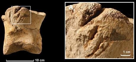 Otisky na fosiliích Tyrannosaura rexe, podle kterých vědci soudí, že tento predátor mohl být kanibal.