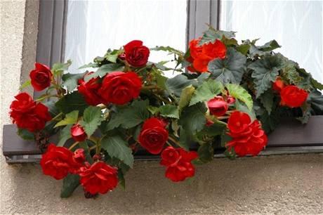 Hlízy begónie přezimujte ve sklepě, ostatním balkónovkám ale dopřejte raději chladnou chodbu