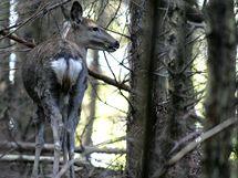Život jelenů siky Dybovského v oboře Volský žlab u Ronova nad Sázavou.