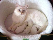 Birma s koťaty, která se rodí vždy bílá