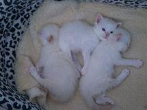 Koťata birmy se rodí vždy bílá, vybarvují se až později