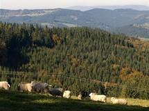 Mezi stády ovcí při sjezdu z Javorníčku do údolí Bečvy