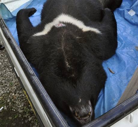 Medvědi se v Japonsku stahují k lidem, policie je musí střílet.