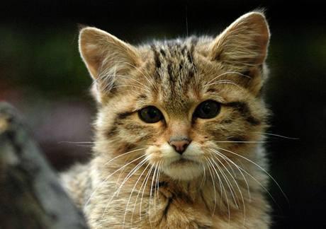 Mládě kočky divoké.