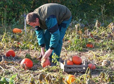 Při sklizni stopky u dýní nevylamujte, raději použijte zahradnické nůžky. V místě vylomené stopky by dýně mohla začít zahnívat
