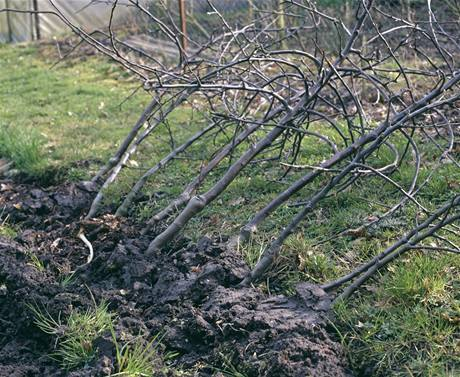 Pokud zakoupené ovocné stromky nestihnete zasadit hned,