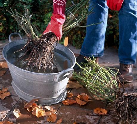 Kořeny zakoupených růžových keřů nechte před výsadbou dostatečně nasáknout vodou