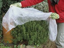 Choulostivé traviny a trvalky, jako je třeba rozmarýna, na zimu přikryjte