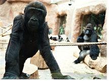Gorily rády nakukují k ošetřovatelům do přípravny. Tuto možnost mají jak z velkého krytého výběhu, tak z nových ložnic