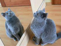 Kartouzská kočka má charakteristickou modrošedou barvu