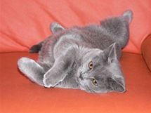 Kartouzská kočka má srst s dvojitou podsadou a téměř nelíná